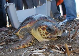 marmariste ölü caretta caretta kaplumbağası bulundu