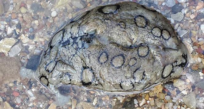 Deniz tavşanı, Marmaris kıyılarında ilk defa görüntülendi