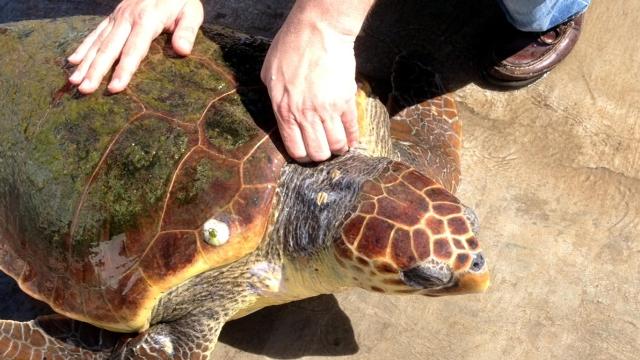 Marmaris yaralı caretta caretta kaplumbağası kurtarıldı