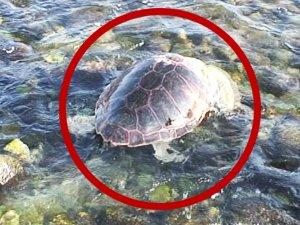 marmariste yarali caretta caretta kaplumbagasi iyilesti