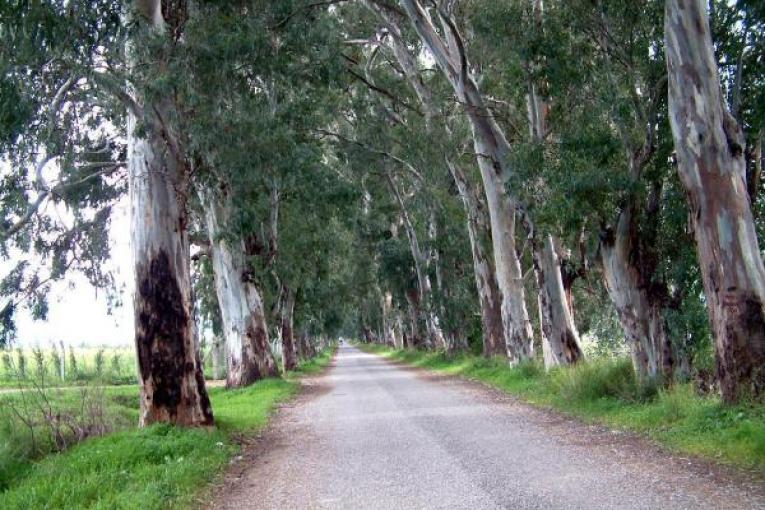 Eski Muğla Marmaris Yolu - Ocaliptus tahribatı